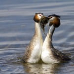 June 2013 - Spring - Great Crested Grebes by David Cotter
